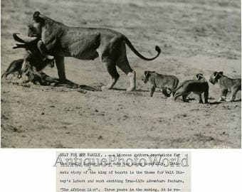 Lion with cubs eating vintage photo
