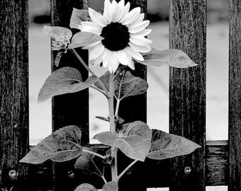 Black and White Nature Collection - Sunflower