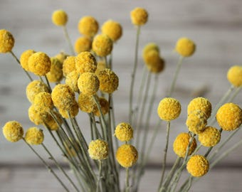 Dried Billy Balls, Dried Craspedia, Dried Flowers, Yellow Drieds, Yellow Drumsticks, Vase Filler Flower, Craspedia Flower Stems, Drumsticks