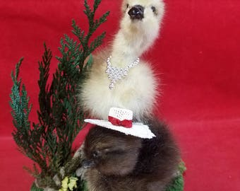 Taxidermy Baby Duckling/Gosling--Princess and her charge!