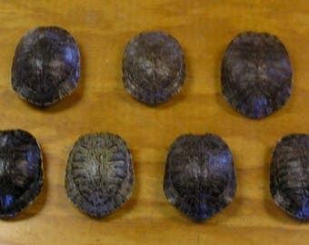 "7 - 5"" Red Ear Slider Turtle Shells"