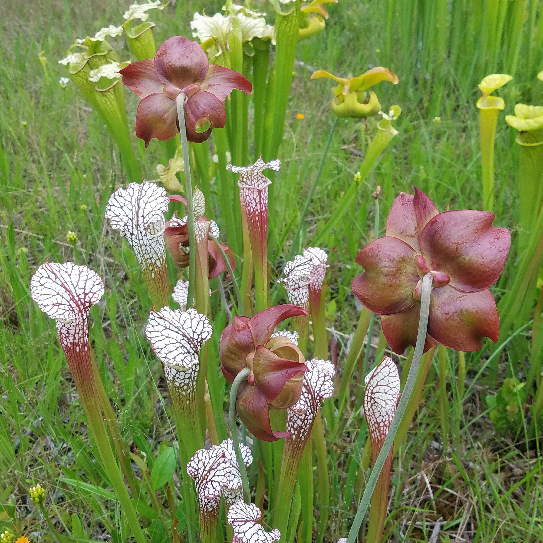 Stanley Rehder Carnivorous Plant Garden | Nerd in the Brain