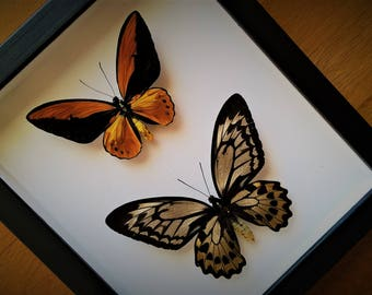 Ornithoptera Croesus Lydius Pair From Halmaheira Framed - Taxidermy - Home Decoration - Collectibles