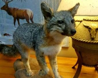 Full Body Life Sized Grey Fox Mount. Taxidermy Animal Mount. Fox Fur. Professionally Done