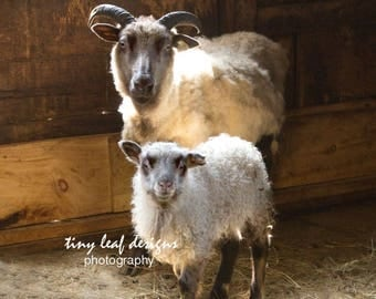 Sheep Original Photography  5x7 8x10 11x14 Print, 8x10 11x14 Standout
