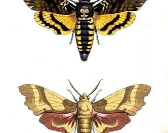 Temporary tattoos - Two death head moths