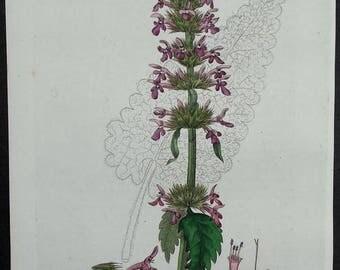 1835: Wood Betony, Betonica Officinalis. Beautiful Original Botanical Antique Engraving. Handcolored. Baxter