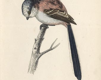 handcoloured engraving longtailed tit 1860
