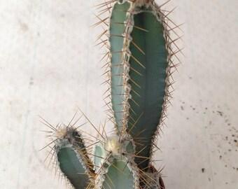 Cereus cactus (forbesi & aethiops) / 20 seeds per pack