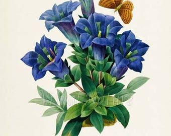 Stemless gentian Flower Art Print, Botanical Art Print, Wall Art, Flower Print, Butterfly Floral Print, Redoute,blue,green, Gentiana acaulis