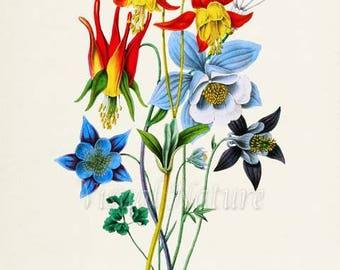 Granny's Bonnet Flower Art Print, Botanical Art Print, Columbine Flower Wall Art, Flower Print, Floral Print, red, yellow, blue, purple