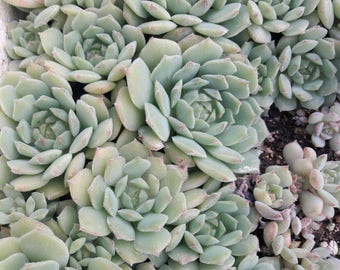 JUST INFORMATIVE! Cacti and Succulents online shop buy Succulents, cacti and Succulents, sale of cactus and succulent Girona