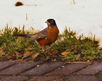 American Robin Nature Photography Wildlife Photography Robin Photography Bird Photography Fine Art Photography American Robin Art Bird Art
