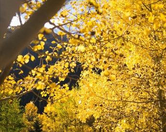 Aspens in Bloom | Colorado | Fine Art Print