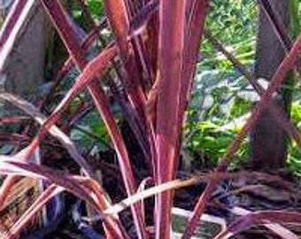 Purple Sensation Cordyline-Houseplant-Shade Plant-Easy Care Plant-Tropical-Indoor Plant-Cordyline Tree-Cordyline Shrub-Cordyline Dracaena