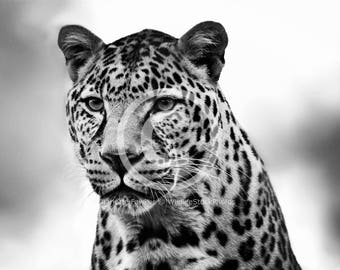 Black and White Leopard Stock Photo
