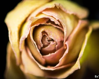 Dried Yellow Rose