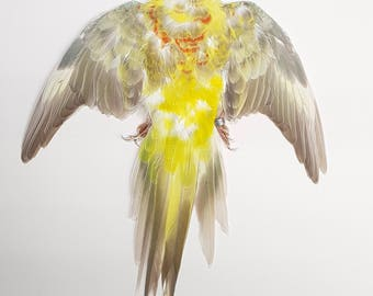 Real taxidermy feathersdried skin red-rumped parrot