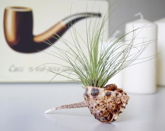 Air Plant Pipe | Tillandsia with Seashell | Coastal Home Decor