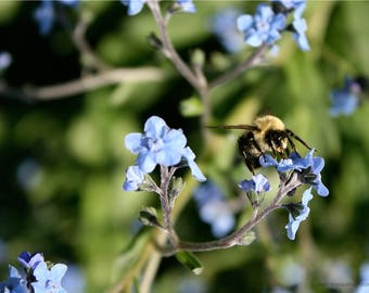 Pollinating Bumblebee Garden Photograph - Fuzzy Bee Photo Art - Pollinator Photography - Blue Forget-Me-Not Flower Blooms - Nature Wall Art