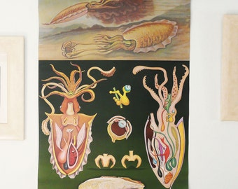 Vintage 1967 Original CEPHALOPODS Pull Down Chart. Jung Koch Quentell School Chart. Large Squid Poster. Sea Life. Octopus. 50 years old