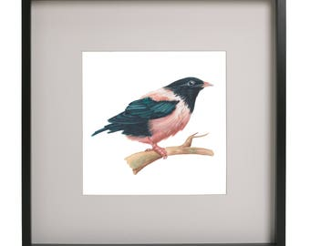 Rose Coloured Starling Print