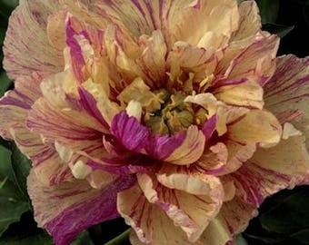 Itoh Peony Lollipop (2-3 eye bare root) ~ SHIPPING OCTOBER