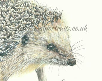 Hedgehog print, Animal art, wildlife art, hedgehog art, hedgehog drawing, Mounted print, wildlife print, hedgehog mounted print, art print