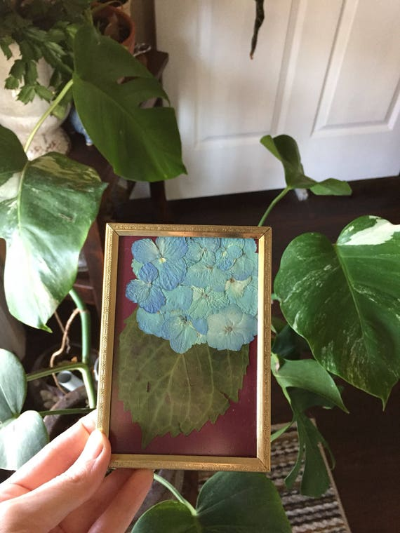 Blue Hydrangea Botanical Art- Blue and Red Real Pressed Flower Art - 3.5x4 Vintage Framed Flower Art- Small Flower Art- Hydrangea Art