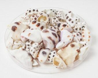 35 Beautiful Hawaiian Drupe Shell Pieces (Surf Tumbled, All Natural, Kona Coast, Hawaii Sea Shells, Jewelry Making Shells)