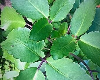 Kalanchoe pinnata , Bryophyllum pinnatum , leaf of Life