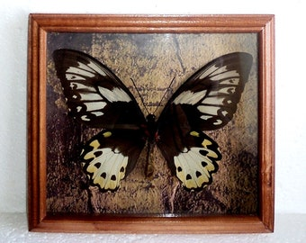 Ornithoptera in the frame of expensive breed of real wood !!