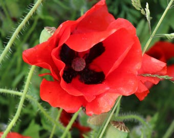 Papaver rhoeas 100 Single Flowered Wild Poppy Seeds