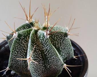 """Astrophytum ornaturn Cactus(3.5""""pot)"""