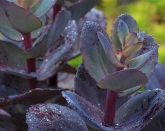 Sedum Plant - BLUE PEARL - Drought Tolerant  - Sunsparkler Series - Live Plant
