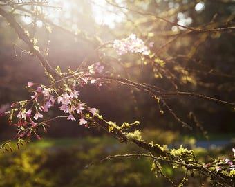 Cherry Blossom, Botanical Print, Flower Photography, Pastel Floral Art, Spring Art, Fine Art Photography, Nursery Decor, Nature Photography