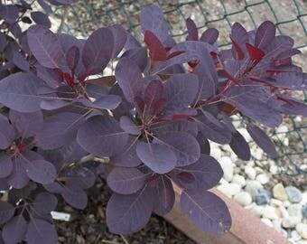 100  Cotinus coggygria Seeds, Smoketree or Smoke bush Tree Seeds