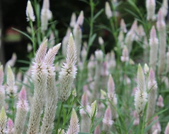 White Celosia Seeds; Celosia Seeds; Sun Loving Annual Seeds; Pollinator Plant; Easy to Grow