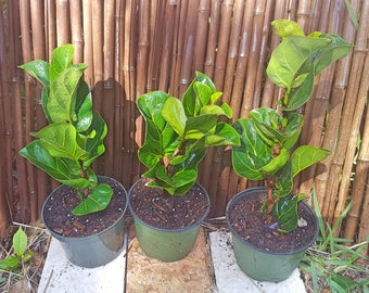"Fiddle Leaf Fig 14-16"" Tall Ficus Lyrata Pandurata ""Little Fiddle"" Growing in a 6"" Pot, Indoor/Outdoor Plant, Patio, Garden"