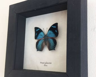 Real butterfly framed - Anaea glaucone
