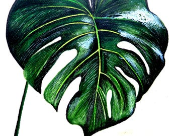 Monstera, drawing