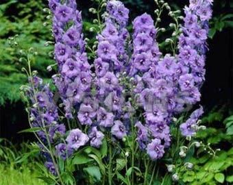 Delphinium / Larkspur- Lilac Spire- 50 Seeds