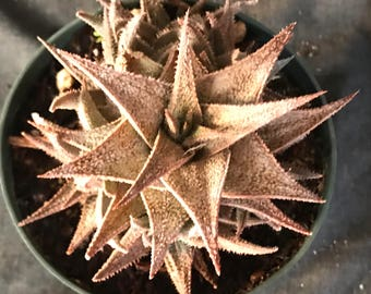 Hawthoria Succulent with Several Off Shoots