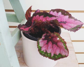 """Begonia Red Multi Color Rex Plant 4"""""""