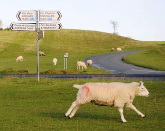 Sheepish Dash on The Curragh of Kildare