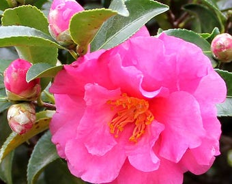 Camellia sasanqua Rose Red - Bloom in fall