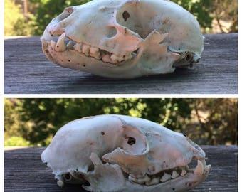 Real Raccoon Skull [Bone/Jaw/Teeth/Skeleton]