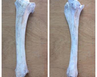 Real Cow Tibia Bone