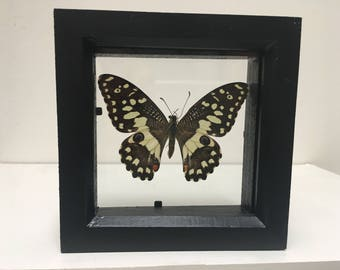 Papilio Demoleus Butterfly/Insect/Taxidermy/Lepidoptera.