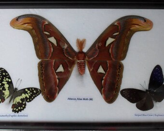 REAL BUTTERFLIES MOTH(M) Taxdermy Frame